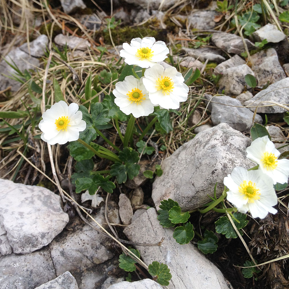 Artikelbild Spitzingsee Alpenhahnenfuß
