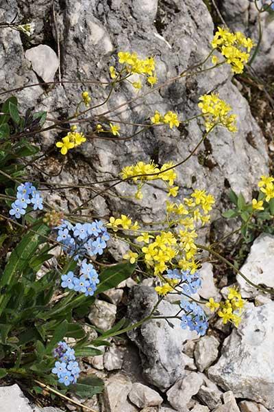 Artikelbild Alpenblumen im Allgäu Tannheimer Berge