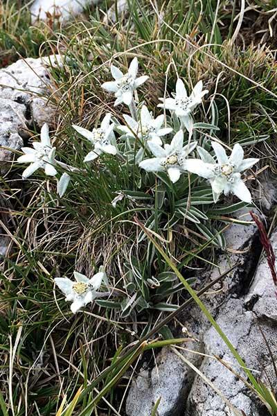 Artikelbild Alpen-Edelweiss Steinbock Bergtouren