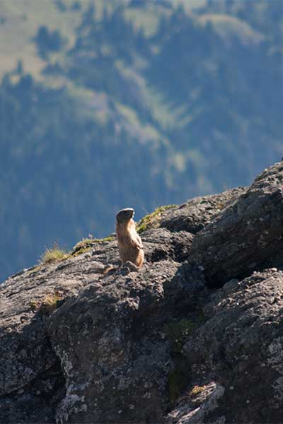 Artikelbild Murmeltier Wandern mit Steinbock Bergtouren
