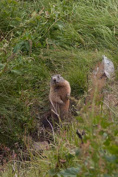 Artikelbild Murmeltiere Wandern mit Steinbock Bergtouren