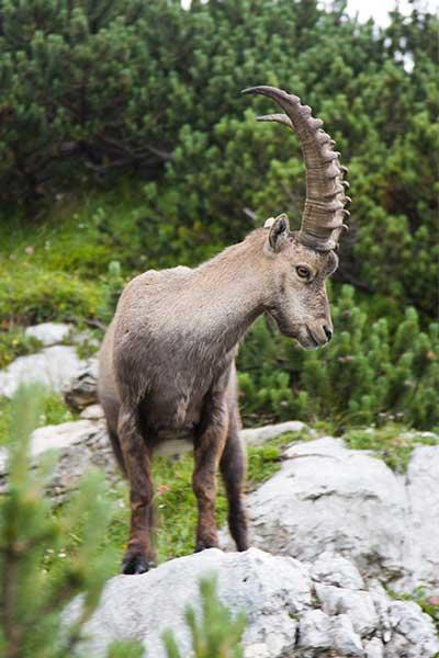 Artikelbild Steinbock König der Alpen Steinbock Bergtouren